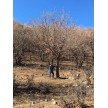 精品单杆蒙古栎大量供应,围场丰盛苗木有限公司