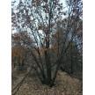 精品丛生蒙古栎大量供应,围场丰盛苗木有限公司
