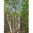 精品丛生白桦大量供应,围场丰盛苗木有限公司