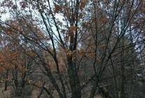 精品丛生五角枫、丛生蒙古栎、单杆蒙古栎推荐