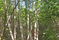 精品云杉、油松、123果海棠、丛生白桦、樟子松、杜梨推荐