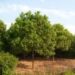 精品香樟大量供应,湖北松滋老彭绿化园林