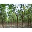 6到8公分速生国槐大量供应,济宁弘兴园林绿化有限公司