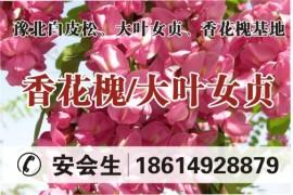 豫北白皮松、大叶女贞、香花槐苗圃