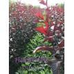 精品扦插紫叶矮樱大量供应,鄢陵花都苗木基地
