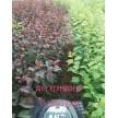 精品青叶.红叶榆叶梅大量供应,鄢陵花都苗木基地