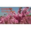 精品红叶榆叶梅大量供应,鄢陵花都苗木基地
