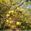 精品腊梅大量供应,鄢陵花都苗木基地