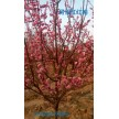 精品骨里红红梅大量供应,鄢陵花都苗木基地