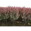 精品紫叶李大量供应,鄢陵花都苗木基地