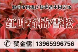 安徽滁州儒林苗木园艺
