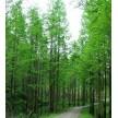 精品水杉大量供应,儒林苗木园艺