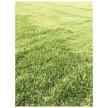 精品草坪大量供应,儒林苗木园艺