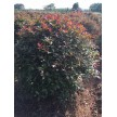 精品红叶石楠大量供应,儒林苗木园艺