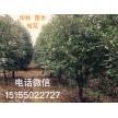 精品桂花大量供应,安徽华林苗木