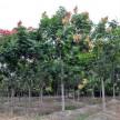 精品栾树大量供应,安徽华林苗木