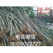 精品大叶女贞1~12公分大量供应,安徽华林苗木