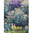 精品红叶石楠球0.3~2米冠大量供应,安徽华林苗木