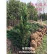 精品龙柏0.5~4.5米大量供应,安徽华林苗木