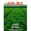 精品龙柏球20~60公分大量供应,安徽华林苗木