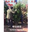精品蜀桧(塔柏)0.5~3.5米大量供应,安徽华林苗木