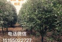 安徽华林苗木
