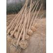 精品三角枫3-8公分大量供应,鄢陵鸿雨苗圃种植销售基地