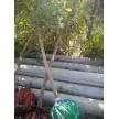精品腊梅3-8公分大量供应,鄢陵鸿雨苗圃种植销售基地