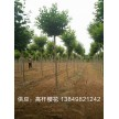 精品高杆樱花大量供应,鄢陵鸿雨苗圃种植销售基地