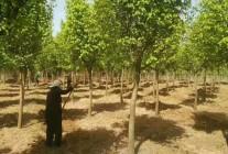 鄢陵鸿雨苗圃种植销售基地