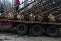 临沂郯城李庄金之林苗木农场