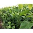精品红玉兰苗大量供应,滁州市南谯区金乡苗木专业合作社