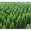 精品桧柏大量供应,滁州市南谯区金乡苗木专业合作社