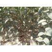 精品大叶女贞籽播苗大量供应,滁州市南谯区金乡苗木专业合作社