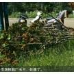 精品移栽广玉兰大量供应,滁州市南谯区金乡苗木专业合作社