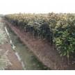 精品广玉兰苗大量供应,滁州市南谯区金乡苗木专业合作社