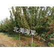 精品北美海棠大量供应,天津旭东苗木种植专业合作社