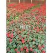 精品串红大量供应,天津旭东苗木种植专业合作社