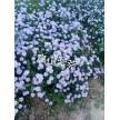 精品高山紫苑大量供应,天津旭东苗木种植专业合作社