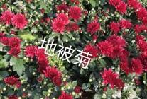 宿根花卉、草花系列、绿化苗木