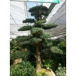 精品造型树大量供应,江苏四季如春绿化工程有限公司