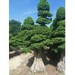 造型树大量供货中,江苏四季如春绿化工程有限公司