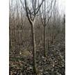 园林绿化苗木大量供货中,江苏四季如春绿化工程有限公司