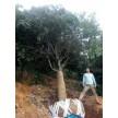 绿化苗木大量供货中,江苏四季如春绿化工程有限公司
