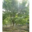 鸡爪槭大量供应,杭州萧山众诚园艺场