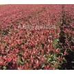 红叶石楠大量供应,杭州萧山众诚园艺场