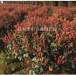 红叶石楠球大量供应,杭州萧山众诚园艺场