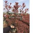 红叶石楠容器苗大量供应,杭州萧山众诚园艺场