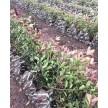 红叶石楠小毛球大量供应,杭州萧山众诚园艺场