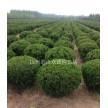 龙柏球大量供应,杭州萧山众诚园艺场